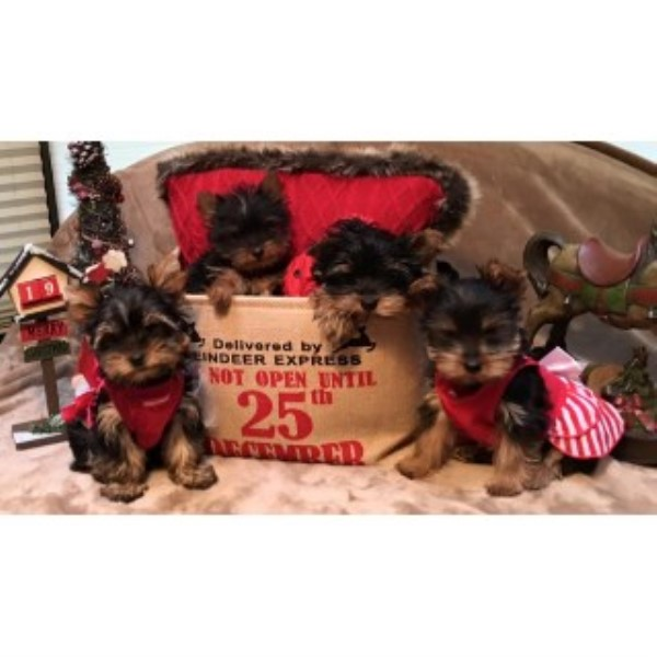 The Yorkie Collection Yorkshire Terrier Breeder In Tigard Oregon