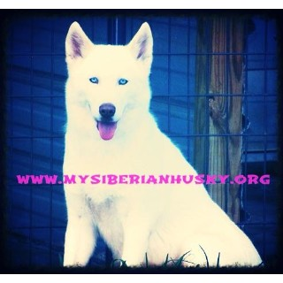 picture from My Siberian Husky Kennels.. a Siberian Husky breeder