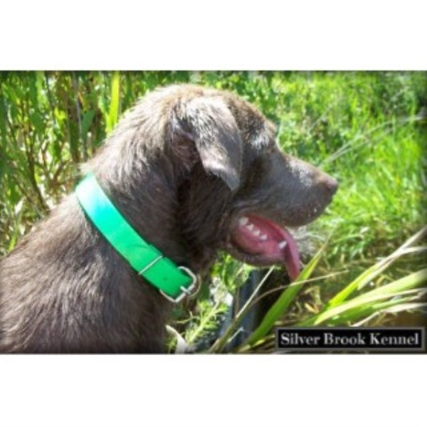 Labrador Retriever breeder Ambrose 15328