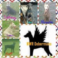 Doberman Pinscher Breeders In Texas