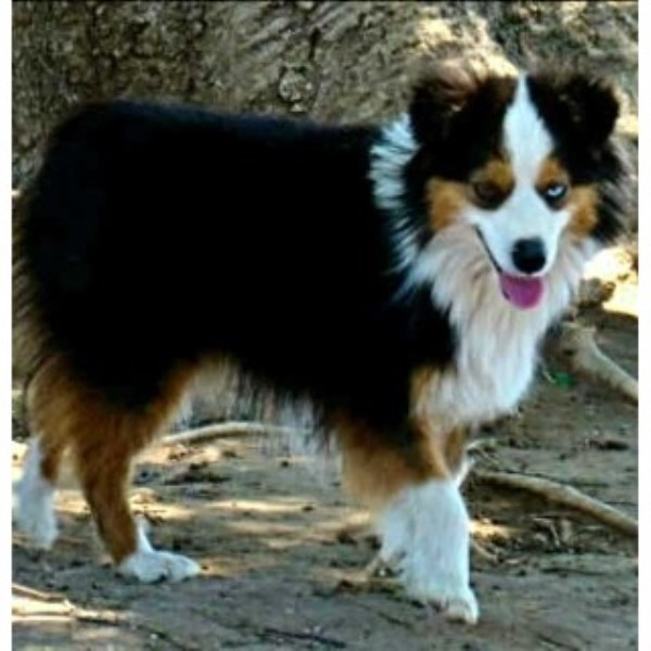 Brattoyaussies Miniature Australian Shepherd Breeder In Mineral Wells Texas