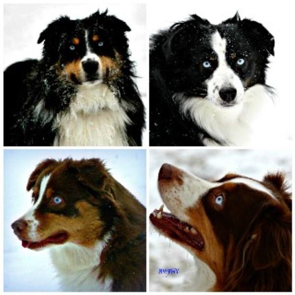 Australian Cattle Dog Puppies Ny