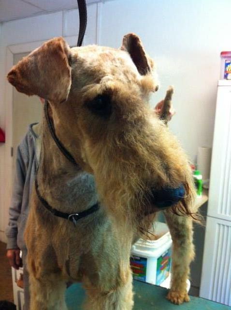 Indus Kennels (Reg  Ckc), Airedale Terrier Breeder in North