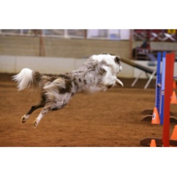 Border Collie breeder Glennville 22542