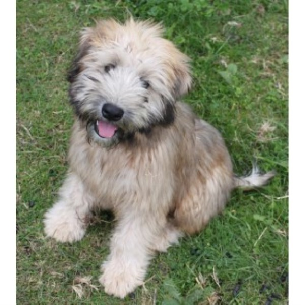 Soft Coated Wheaten Terrier Ontario More Information