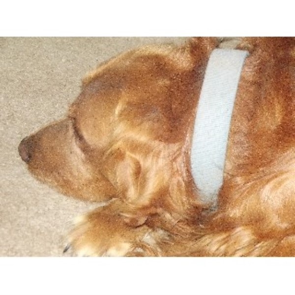 Golden Retriever breeder Redmond 22051