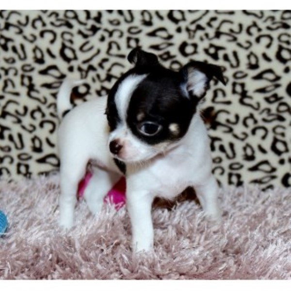 Chihuahua breeder Tampa Bay Area 25030