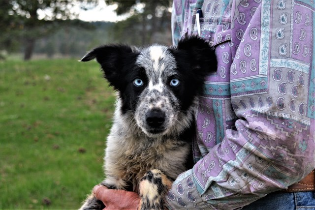 Border Collie Breeder 26074