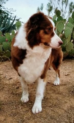 Carman Aussies, Australian Shepherd Dog Breeder in