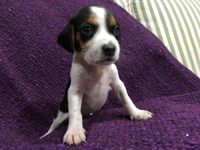 Brach Beagle Breeder In Macclenny Florida
