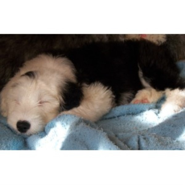 English Toy Spaniel Breeders Louisiana Ramsfarm, Old English ...