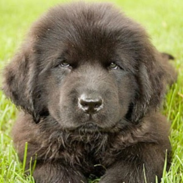 Crooked River Saints Newfoundland Dog Breeder In Waterford Maine