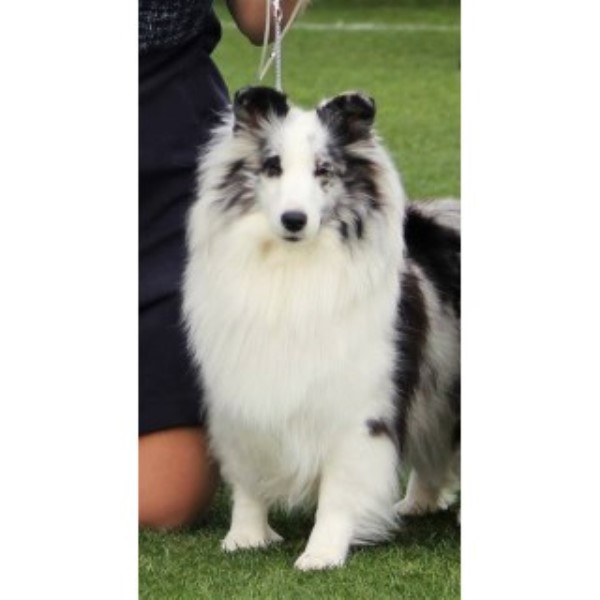 Wildwest Shelties Shetland Sheepdog Breeder In Prescott Valley