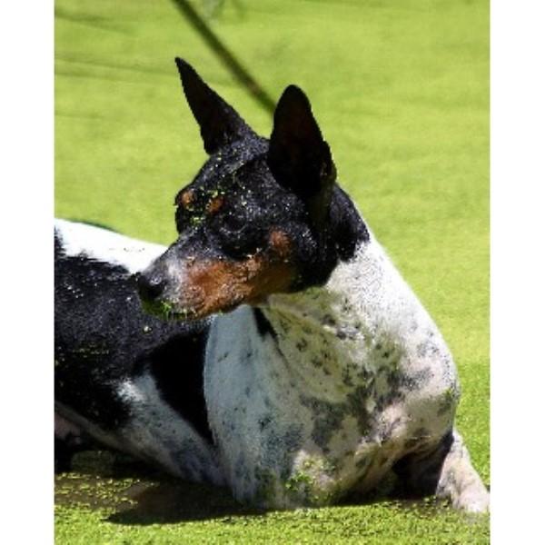 Seegmiller Standard Rat Terriers Rat Terrier Breeder In Glenwood Missouri