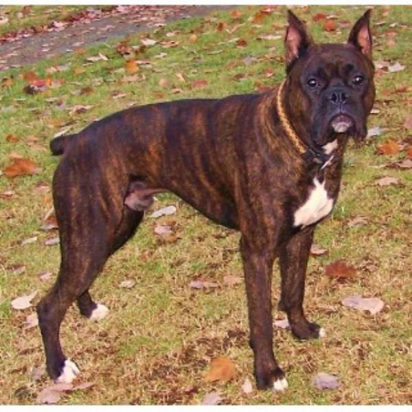 Boxer Dogs For Sale Cincinnati