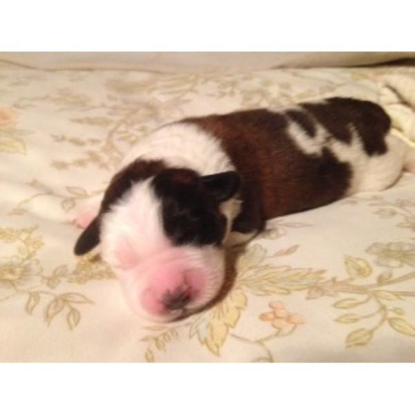 Saint Bernard Puppies For Sale In Texas Saint Bernard Breeder In