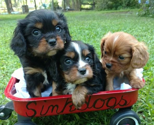Sinkdogs Cavalier King Charles Spaniel Breeder In Williston Florida