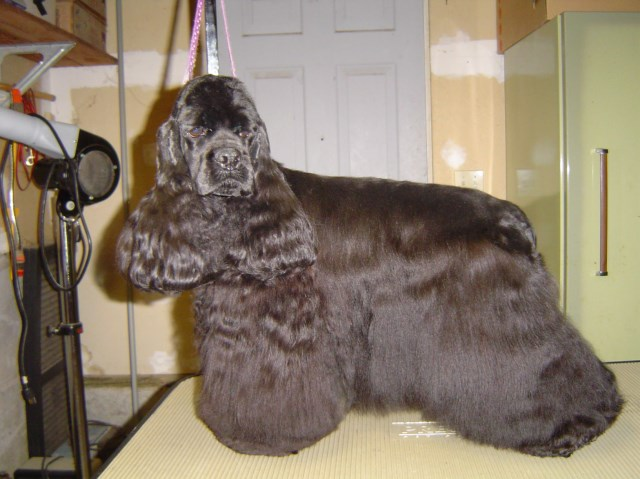 American Cocker Spaniel Breeder 19918