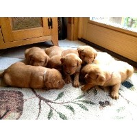Thistleberry English Labradors