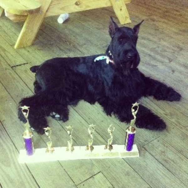 Giant Schnauzer breeder in Sumter, South Carolina