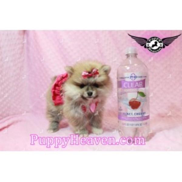 Puppy Heaven Pomeranian Breeder In Las Vegas Nevada