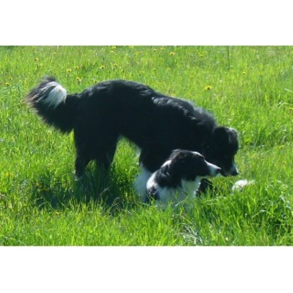 Wall 2 Wall Border Collies Border Collie Breeder In Cartwright