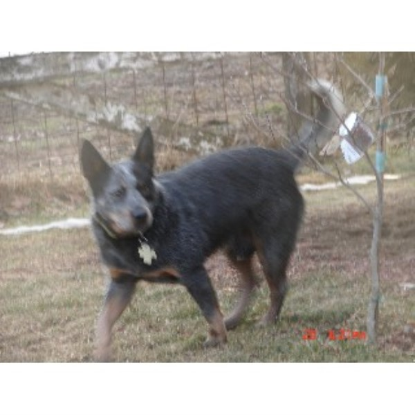 Mf Heelers Australian Cattle Dog Breeder In Waukon Iowa