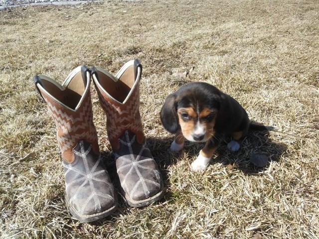 East Idaho Beagles, Beagle Breeder in Rigby, Idaho