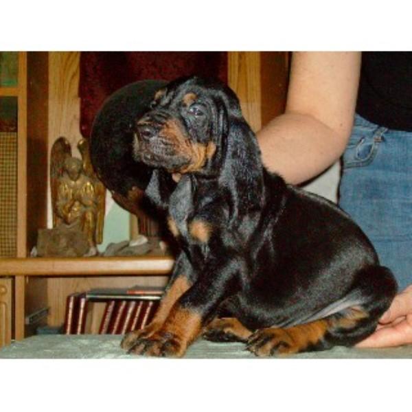 Evenstar Hounds, Bluetick Coonhound Breeder in Ohatchee, Alabama