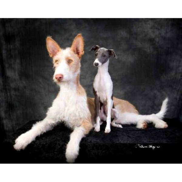 Italian Greyhound breeder in Washington