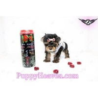 Puppy Heaven  - Teacup & Toy Puppies For Sale