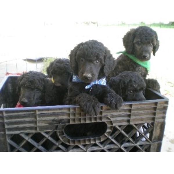 Mountain Standard Poodle Poodle Standard Breeder In