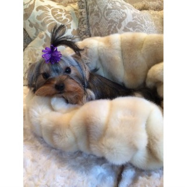 Yorkshire Terrier breeder Sun Valley 22252
