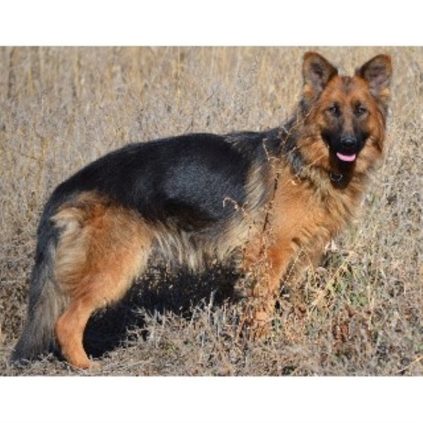 german shepherd puppies for sale in south dakota royal k9 kennel llc german shepherd dog breeder in fort 8039