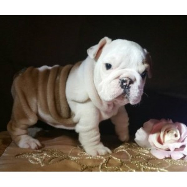 picture from Ultimate Bond English Bulldogs a English Bulldog breeder