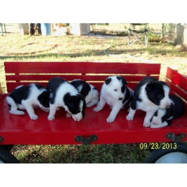 Roberts Ranch Border Collie Breeder In Dublin Texas