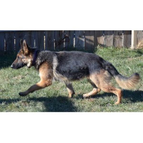 german shepherd puppies for sale in south dakota royal k9 kennel llc german shepherd dog breeder in fort 7881
