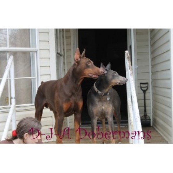 Doberman Pinscher breedering kennel in Phenix City