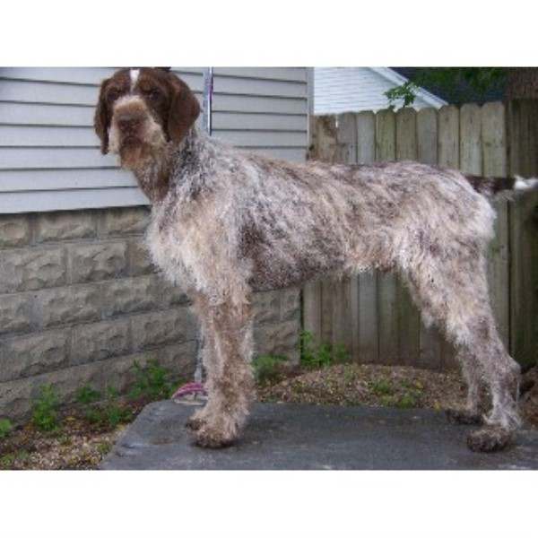 Aablwch German Wirehaired Pointers German Wirehaired Pointer Stud