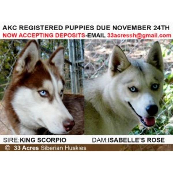 33 Acres Siberian Huskies, Siberian Husky Breeder in