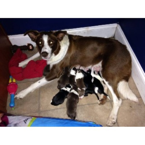 Border Collie breeder Cumberland 22284