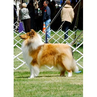 Collie breeder in Mays Landing