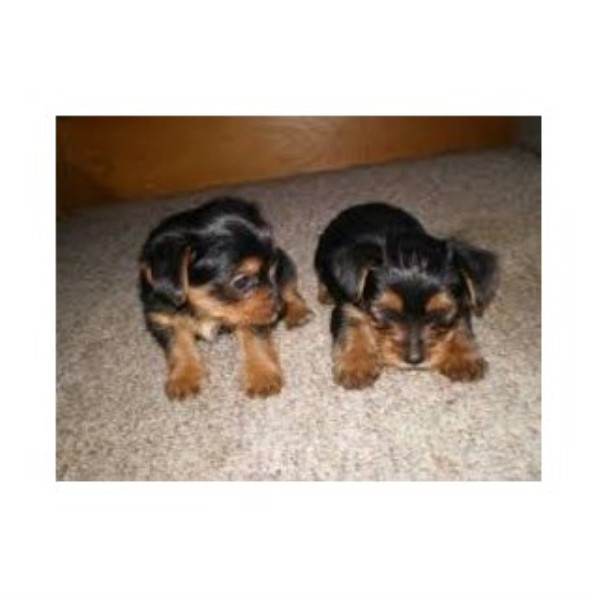 Yorkshire Terrier breeder Walnut 22574