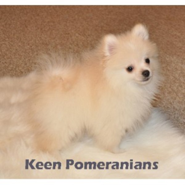 pomeranian puppies for sale in alabama keen pomeranians pomeranian breeder in huntsville alabama 7864