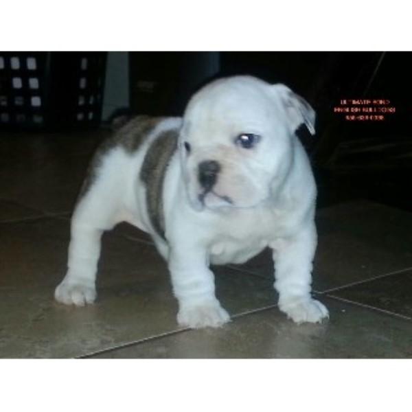 Ultimate Bond Englishbulldogs English Bulldog Breeder In Biloxi Mississippi