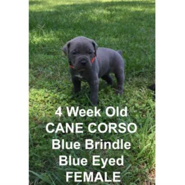 Little Country Kennel Cane Corso Breeder In New Caney Texas