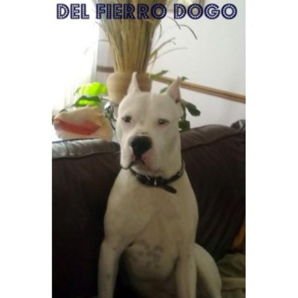 Del Fierro Dogo Dogo Argentino Stud In Tucker Georgia