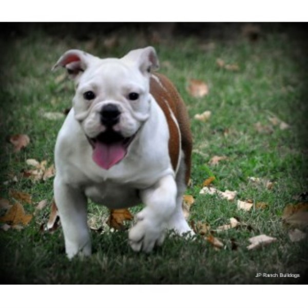 Jp Ranch Bulldogs English Bulldog Breeder In Conway Arkansas