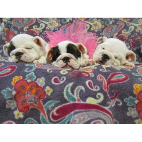 English Bulldog breeder Martinez 18529