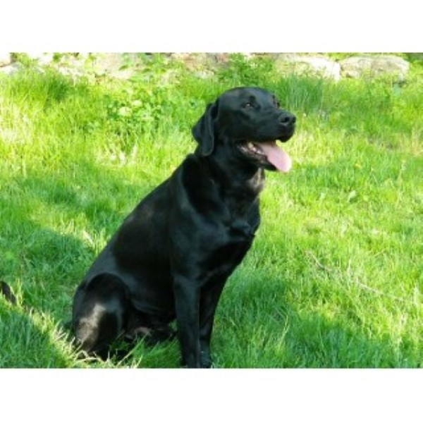 Certified Cadaver Dog For Sale